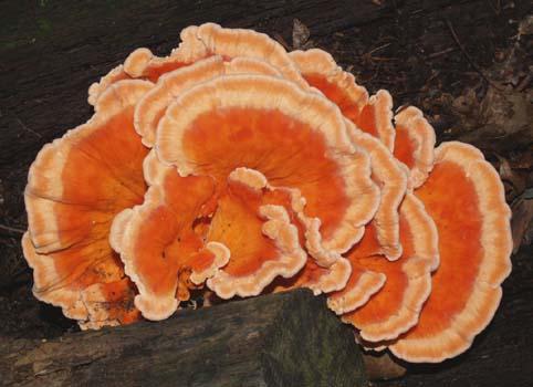 OrangeYellowFungus