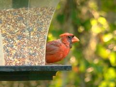 birds cardinals malecardinals