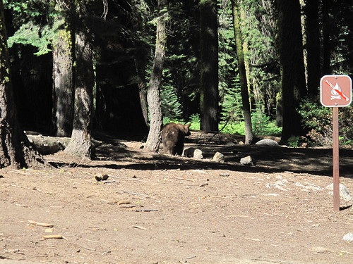 Bear at the Crescent Meadow Parking Area