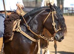 O zaino bem de apero... (Eduardo Amorim) Tags: brazil horses horse southamerica leather brasil criollo caballo cheval caballos ca