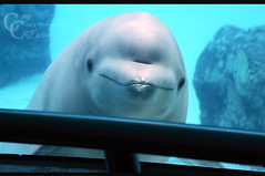 Peek A Boo (CampCrazy Photography) Tags: blue portrait baby ontario canada cute water smile swim grey niagarafalls eyes infant tank peekaboo adorable tourist friendly shows whale beluga marineland attractions campcrazyphotography serenalivingston