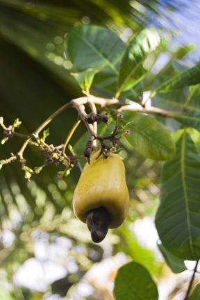 Name This Plant: Cashew