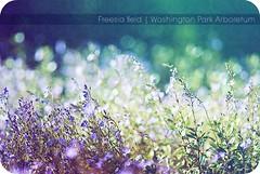 freesia. (stephaniehaller) Tags: seattle blue green texture field washington purple turquoise september gradient freesia postprocessing washingtonparkarboretum
