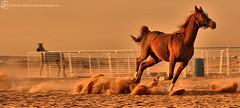 Power Of Horse (Tareq Abuhajjaj | Photography & Design) Tags: horses horse moon photography design desert sands tareq