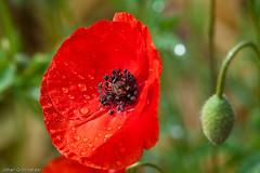 Red poppy (Johan Grobbelaar) Tags: red flora poppy raindrops
