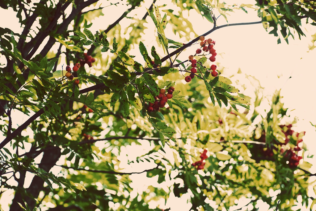 berries in the tree