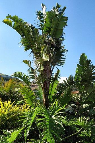 Strelitzia nicolai (rq) - 02