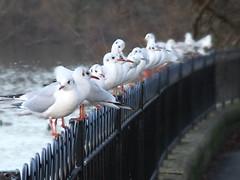 Profocus Seagulls