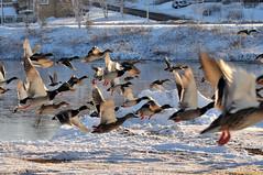 Drive by Shooting :) (20091208-143058-PJG) (DrgnMastr) Tags: canada birds geotagged ducks newbrunswick moncton mallards naturesfinest vob interestingness474 i500 grouptags mywinners avianexcellence allrightsreserveddrgnmastrpjg diamondclassphotographer flickrdiamond eiap rawjpg damniwishidtakenthat geo:lat=46083631 geo:lon=64803538 explore20091218 pjgergelyallrightsreserved