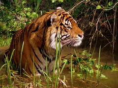 I'm a tiger, a cat of prey... (catlovers) Tags: friends wild nature animal cat zoo tiere frankfurt tiger prey predator catlovers bej platinumphoto naturewatcher theperfectphotographer vosplusbellesphotos flickrbigcats monisertel