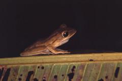 Four-lined Tree Frog (Polypedates leucomystax) (BJSmit) Tags: film 2004 slide frog sarawak malaysia borneo treefrog kikker boomkikker eos33 whitelippedtreefrog polypedatesleucomystax polypedates fourlinedtreefrog