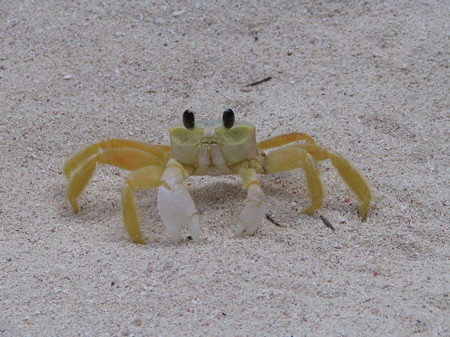 GTC (Good Tourist Crab) sat still for picture taking!