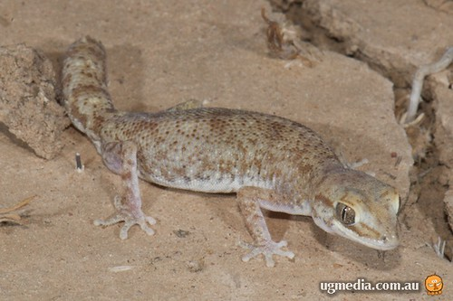 Tessellated gecko (Diplodactylus tessellatus)