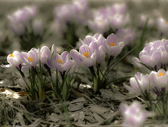 Crocus, Reaching for the Sun - Wisconsin, Dousman - Spring 2007_027-2-4