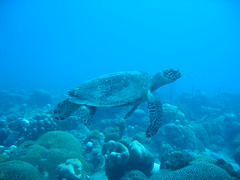 Hawksbill Sea Turtle, Barbados, West Indies