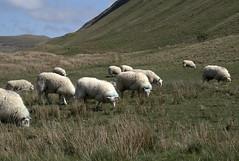 Quintessentially Irish... (...cathrine) Tags: ireland green sheep meadow wiese irland gras prato irlanda sligo schafe pecore schaf benbulben pecora grasen