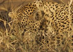 On Leopard Protection Duty_4308 (susan yeomans) Tags: africa cat canon southafrica mammal feline wildlife safari leopard bigcat 7d bigfive big5 canon7d shindzela shindezlatentedcamp shindzelatimbvati big5wildlife