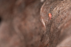 """""""Another brick in the wall"""" (regisfiacre) Tags: collembole collembola springtail insect insecte bugs micro macro macrophoto macrophotographie petit tiny microcosme microcosmos nature sauvage wild wildlife canon 5div mark iv sigma 150mm dicyrtomina ornata"""