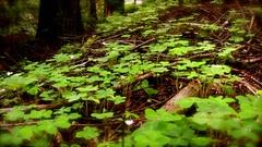 Lush Green Clover Paths at Heritage Grove Redwood Preserve in La Honda, California (SCVHA) Tags: california commemorative lahonda heritagegrove redwoodpreserve