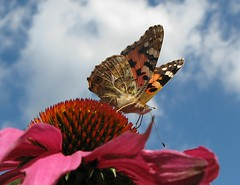 Enjoy! (langkawi) Tags: pink blue orange butterfly ilovenature echinacea rosa papillon langkawi blau weiss schmetterling paintedlady purpleconeflower vanessacardui naturesfinest echinaceapurpurea fhler distelfalter mywinners flickraward