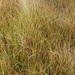 LiveRoof, Carex Praegracilis