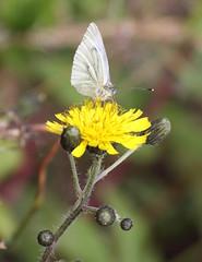 small white on yellow2 (flutemumof3(I'm back)) Tags: scotland lochlomond floraandfauna