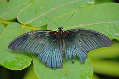 vlinder (JANKUIT) Tags: orchidgarden butterflygarden vlindertuin orchideentuin