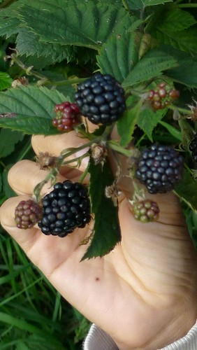 Blackberries are here! by you.