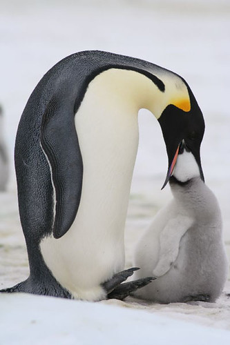 Penguins throw up into each other's mouths. In case that joke confused you.