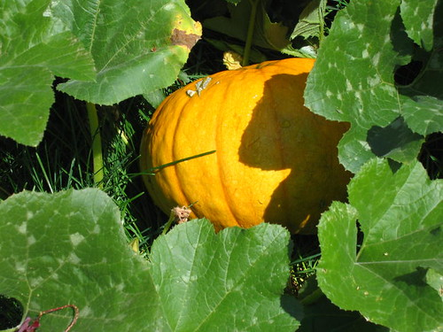 Here come the pumpkins