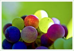 Delicious colours (Lightspectral | off) Tags: grapes vinyard knigswinter thismorning qudelicia poetryoflightnet copyrightmariaschulzevorberg wwwpoetryoflightnet copyright2013 mariaismanahschulzevorberg koenigswintergermany