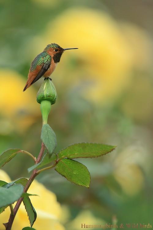 Allen's Hummingbird05091-3