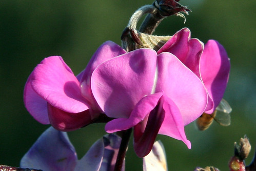 hyacinth bean vine 3