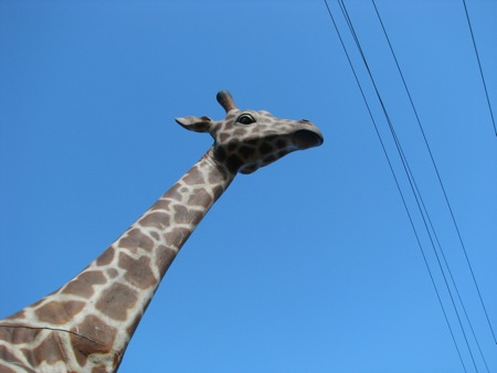 Giraffe peering over wires
