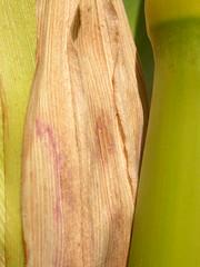 Zea mays (Matt Lavin) Tags: grass corn montana midsummer annual cob maize poaceae zea zeamays inflorescence cultivated bunchgrass pompeyspillar warmseason disturbedsite prophyll solitarystem