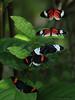 Butterfly Dance Party (iCamPix.Net) Tags: flower canon butterfly 524 butterflydance markiii1ds