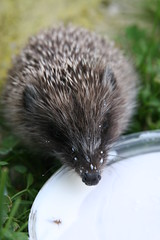 A hedgehog is drinking some milk (Nikkka) Tags: animal milk hedgehog jez je mleko ival zival