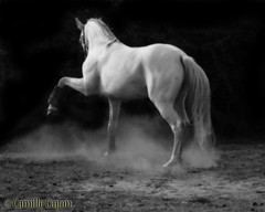 IMG_3366 (Camille Luz) Tags: horses horse caballo cheval caballos pferd stallion andalusian chevaux lusitano quitation