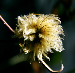 old man's beard (peet-astn) Tags: autumn flower searchthebest clematis oldmansbeard platinumphoto