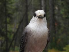Grey Jay (Kinipela21 (Catching Up!)) Tags: fall algonquinpark grayjay greyjay perisoreuscanadensis whiskeyjack sprucebog canadajay