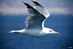 Let me fly with you... (teo58-) Tags: trip sea bird fly ship seagull flight wing ferryboat piraeus superaplus aplusphoto avianexcellence diagoras vosplusbellesphotos