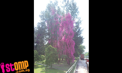 Tallest bougainvillea plant in S'pore