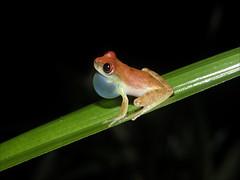 Photos nature (macquetos) Tags: roura guyanefranaise guyanefranaise 973guyanefranaisecayenne 973guyanefranaisecayenne notropique dendropsophussp1