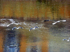 Taking flight - Envol (Pendore) Tags: seagulls france water birds reflections river eau flight rivire laval oiseaux mouettes envol theunforgettablepictures naturalexcellence goldstaraward pendore rivirelamayenne
