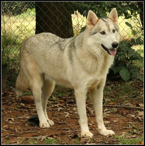 Bear the Wolf-Dog - IMG_5136