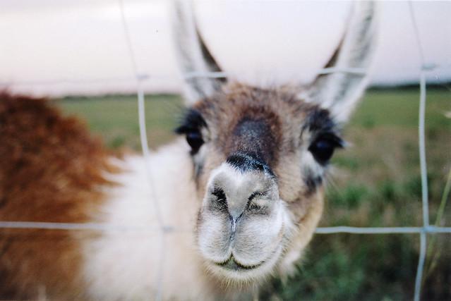 Llama friend