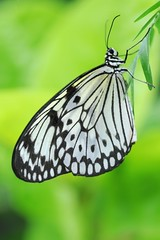 Rice paper butterfly - Amsterdam (IvoMathieuGaston) Tags: white black color colour green colors amsterdam butterfly zoo leaf nikon colours idealeuconoe d300 artiszoo naturegroup ricepaperbutterfly butterflycolorgroup naturalmentegroup eperkegroup flickrstarsgroup highqualityimagesgroup wonderfulworldofanimalsgroup wonderfulworldofmacrogroup natureisallgroup naturegreenstargroup butterfliesgroup worldofanimalsgroup onlyanimalsgroup smallcreaturesgroup loverofnaturegroup fotosconestilogroup exquisiteworldofnaturegroup lovetheworldofnaturegroup macrosdenaturalezagroup beautifulshotgroup macroworldgroup flowersinsectsandbutterfliesgroup greatbutterflycollectiongroup butterflybeautygroup elshowdelmacrogroup butterflygallerygroup universeofnaturegroup mosfotogartengroup wonderfulwoldofdofgroup nikonflikcrawardgroup