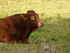 Coo (Mama Tumshie) Tags: autumn scotland perthshire fortingall glenlyon