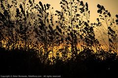 119: Sunset Grass (Peter Morawski) Tags: sunset toronto ontario canada art project pentax peter zen da lakeshore pete etobicoke 365 limited imagery exposures mora morawski 18250 k100d colonelsamuelsmithpark 18250mm justpentax zenimagery petemora 365exposuresproject petemorawski