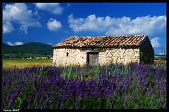 Cabanon dans les lavandes (Patchok34) Tags: summer france nature nikon purple country violet lavander provence lavande argentique nationalgeographic f801s et banon kartpostal mywinners flickraward francelandscapes nikonfrance nikonflickraward